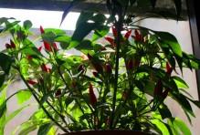 pepper-plant