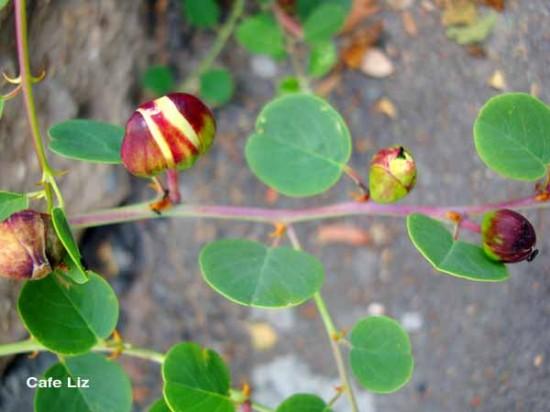 caper-plant