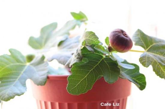 fig-tree