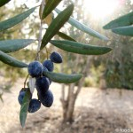 olives-on-tree